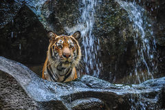 Tiger standing behind rock in front of waterfalls Stock Photos