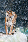Tiger standing on the rock Royalty Free Stock Image