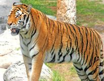 Tiger. Standing on a rock looing peaceful Royalty Free Stock Photo