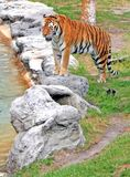 Tiger. Standing on a rock looking peaceful Royalty Free Stock Image