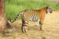 Tiger standing in the shade. Image of an adult tiger standing in the shade of a tree Stock Images