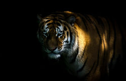 Tiger. A tiger standing in the shadows Stock Photo