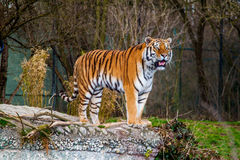 Tiger standing on the stone Royalty Free Stock Photo