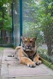 Tiger Standing a strisce arancio tropicale in Tiger Temple Thailand immagine stock libera da diritti