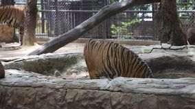 Tiger standing in zoo. Holiday concept stock footage