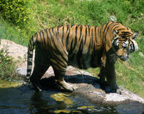 Tiger stands near the reservoir. Royalty Free Stock Photos