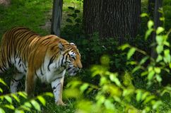 Tiger Star photos stock