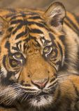 Tiger Stare. A young Sumatran Tiger stares at the camera Royalty Free Stock Image
