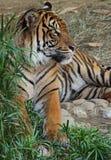Tiger Stare imagem de stock royalty free