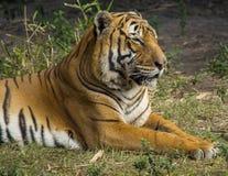 Tiger Stare fotografia de stock royalty free
