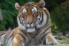 Tiger stare. Tiger lying on grass Stock Photo