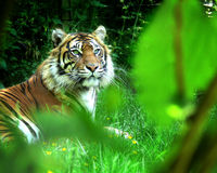 Tiger stare. Tiger in a clearing, watching purposefully Stock Photos