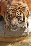 Tiger Stare Royalty Free Stock Photo