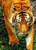 Tiger stare Royalty Free Stock Images