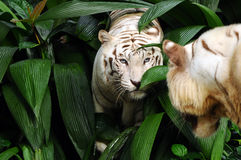 Tiger stare. A white tiger staring at another tiger with its piercing blue eyes Stock Photo
