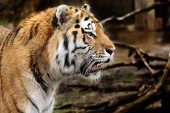 Tiger profile Stock Image