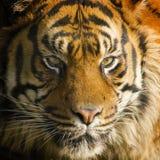Tiger staring gaze. Male sumatran tiger photographed face on showing staring yellow eyes Royalty Free Stock Photos