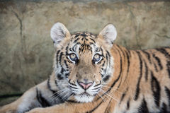 Tiger Staring While Resting Stockbilder