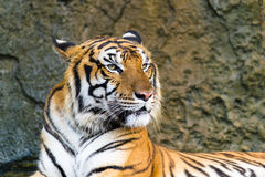 Tiger staring to the source of sound. Bengal tiger in charming inclining posture, concentrating to the source of sound Royalty Free Stock Photos