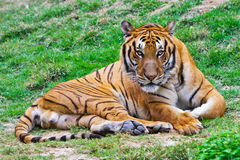 Tiger staring at you. A south China tiger is groveling on the grassplot staring at you Royalty Free Stock Photography