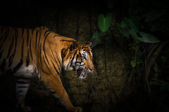 Tiger. Starting attack at night Stock Photography