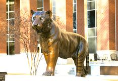 Tiger Statue majestoso em University of Tennessee fotos de stock