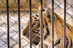 The tiger in the steel cage. Stock Image