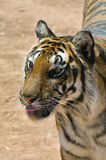 Tiger Sticking out Tongue Stock Photo