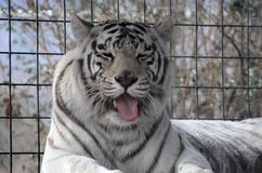 Tiger sticking tongue out Royalty Free Stock Photo