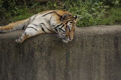 Tiger on stone wall. Tiger laying down along a stone wall Royalty Free Stock Photography