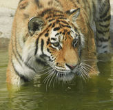 Tiger stood in water. Portrait of tiger stood in water Royalty Free Stock Photography