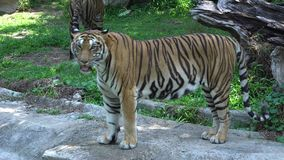 Tiger stop walking and looking in the zoo. Big tiger stop walking and looking in the zoo stock video footage