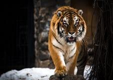 Tiger stora katter som är lösa Handlingdjurlivplats, farligt djur arkivbilder