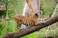 Tiger Stretching over Brown Trunk during Daytime Royalty Free Stock Images