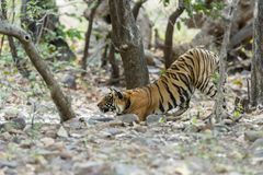 Tiger stretching,Ranthambhore National park,Rajasthan,India. Tiger stretching at Ranthambhore National park,Rajasthan,India,Asia stock photography