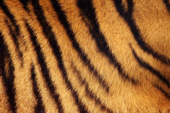 Tiger stripe background Royalty Free Stock Image