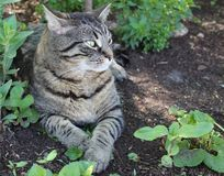 Tiger stripe cat. Male tiger stripe cat relaxing in the dirt stock images