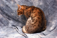 Tiger striped bengal cat. A beautiful tiger striped bengal catshowing his back and profile against a grey background Royalty Free Stock Photo