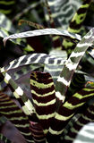 Tiger Striped Bromeliad Stock Photography