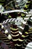Tiger Striped Bromeliad stock photography