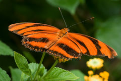 Tiger Striped Butterfly. Perched on a flower stock images