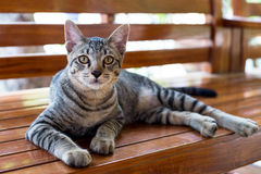 Tiger striped cat. The body on happy times royalty free stock photo