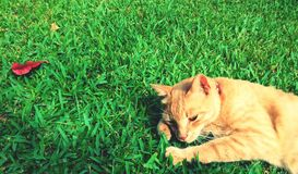 Tiger-striped cat on grass with red leaf. Reclining cat on green grass stock photography