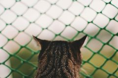 Tiger-Striped Cat Looking Out. Photo of cat looking into the window. Back view royalty free stock photo
