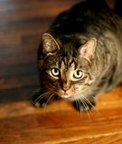 Tiger striped cat looking up at the camera. A handsome cat with green eyes looking at the camera, sitting on a wood floor Stock Image