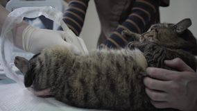 Tiger striped cat in veterinary clinic, people hold a pet and veterinarian specialist making to a cat ultrasound. Tiger striped fluffy cat in veterinary clinic stock video footage