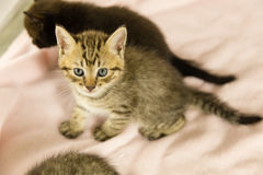 Tiger striped kitten on pink blanket. With kittens in background stock photo