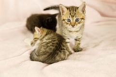 Tiger striped kitten on pink blanket. With kittens in background royalty free stock photo