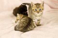 Tiger striped kitten on pink blanket. With kittens in background stock photography