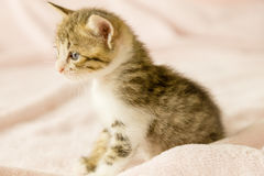 Tiger striped kitten on pink blanket Stock Photo
